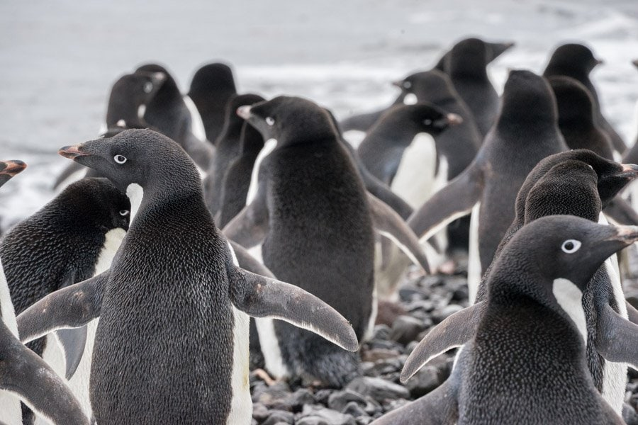 Franklin Island Adelie penguins