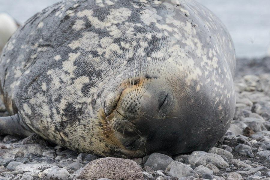 Franklin Island Ross Sea Weddel seal