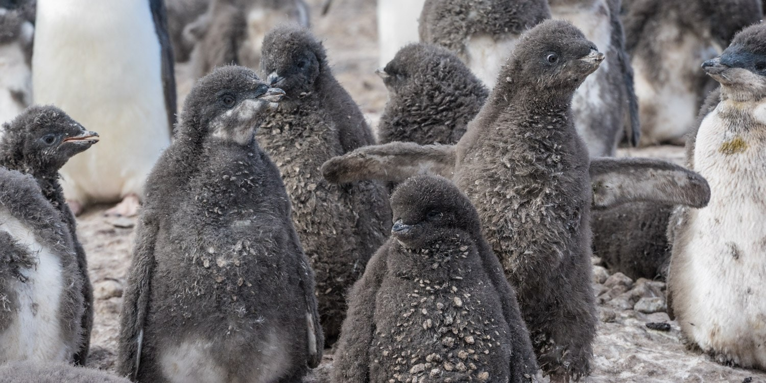 Franklin Island Ross Sea Adelie Chicks