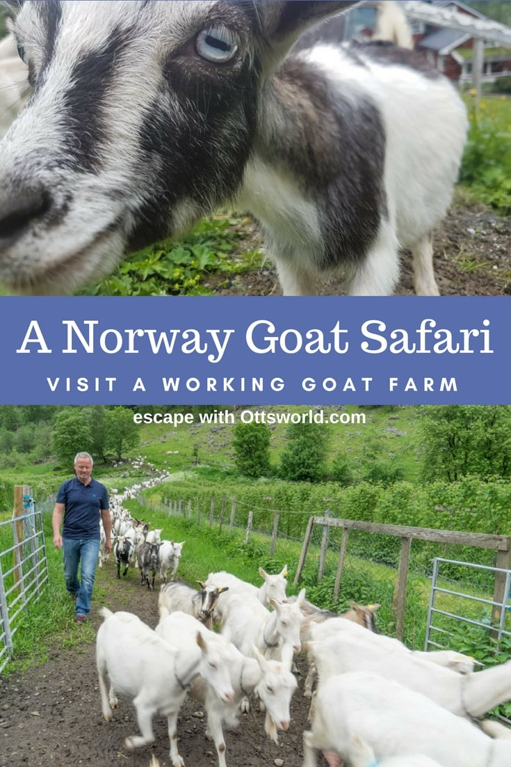 Looking for unusual and authentic experiences to add to your Norway itinerary? Take this goat safari and farm visit in Norddal for an memorable experience!