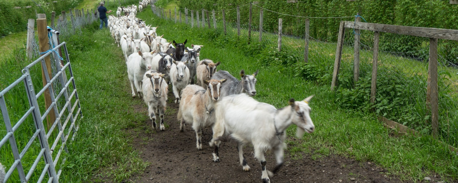 norway itinerary goat farm visit