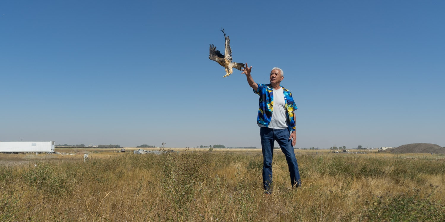 Alberta Birds of prey hawk release