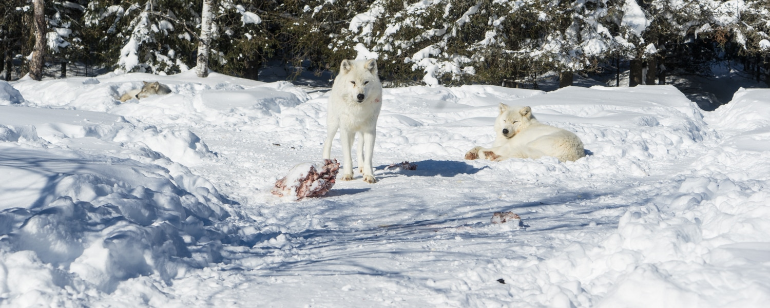 wolf experience quebec
