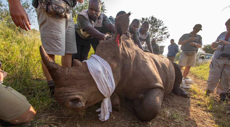 Thanda safari rhino dehorning