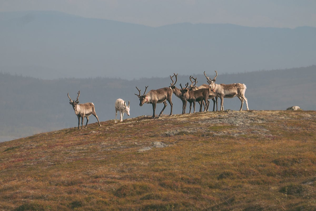 sweden is known for their reindeer