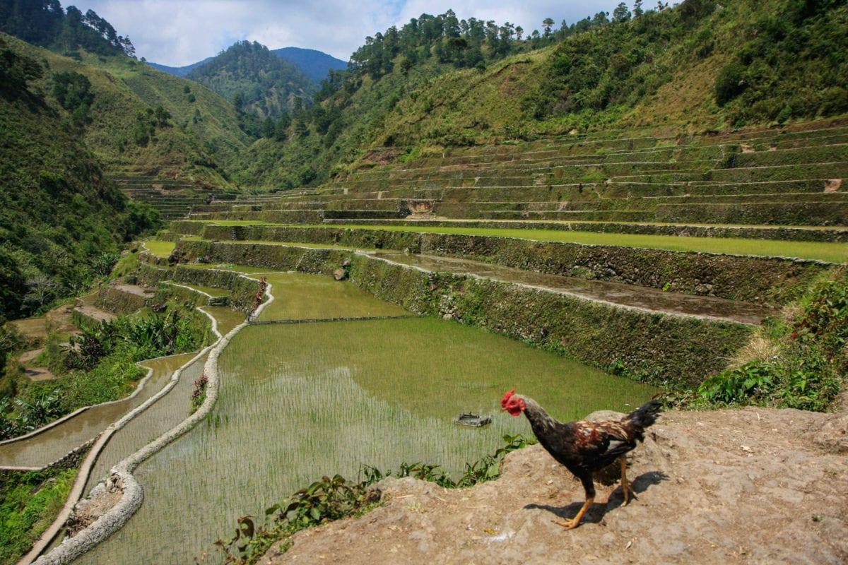 Native chicken philippines
