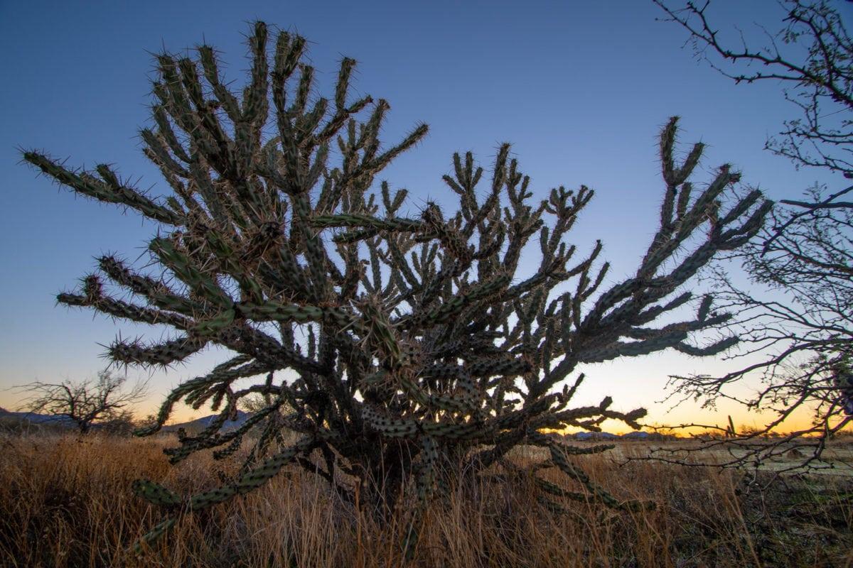 sonoran desert cactus