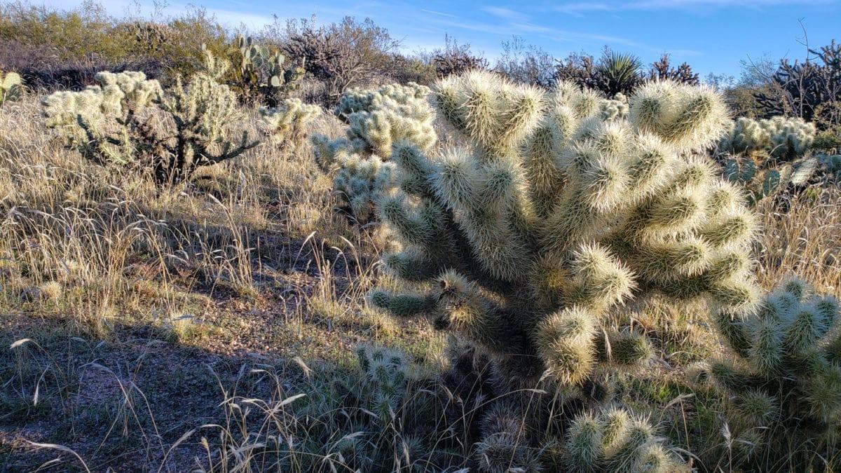 jumping cactus