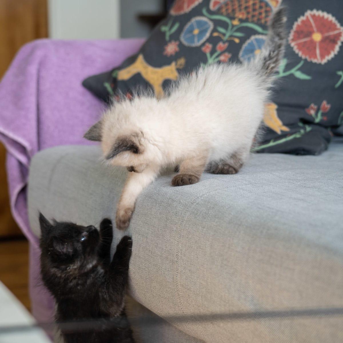 kittens playing