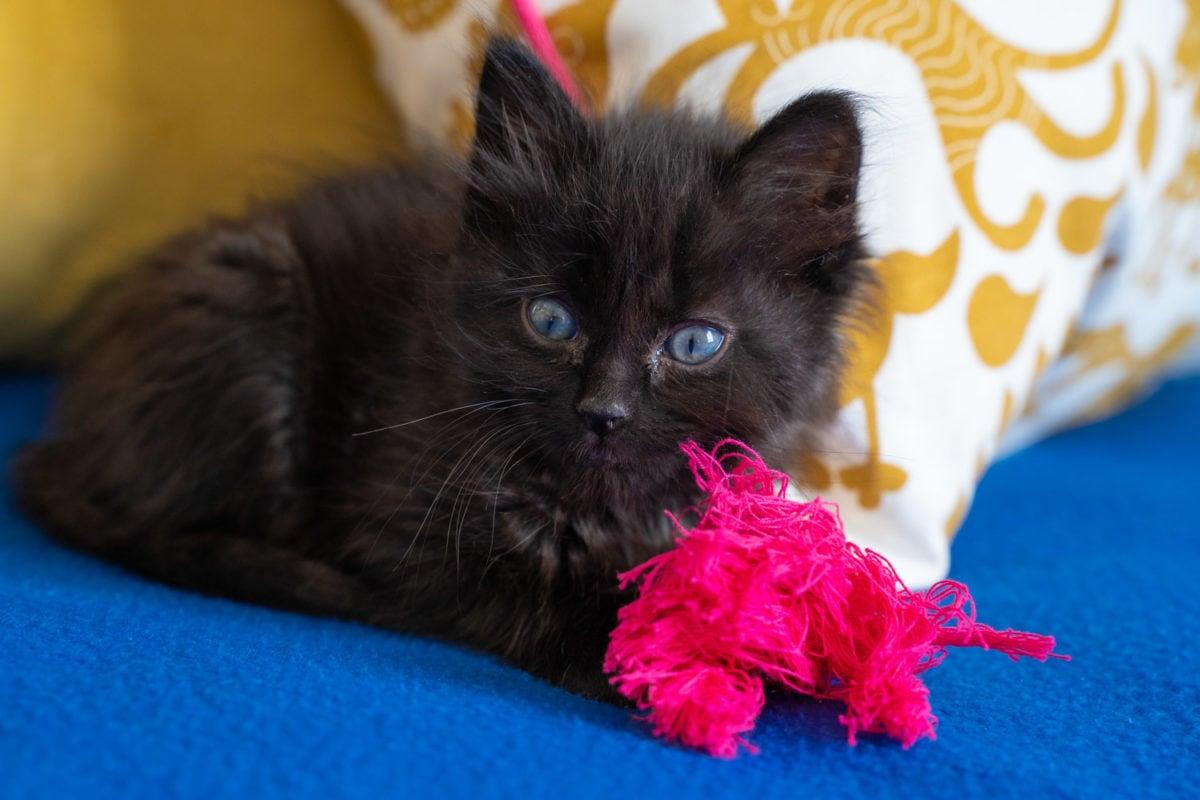 Foster kitten 6 weeks old