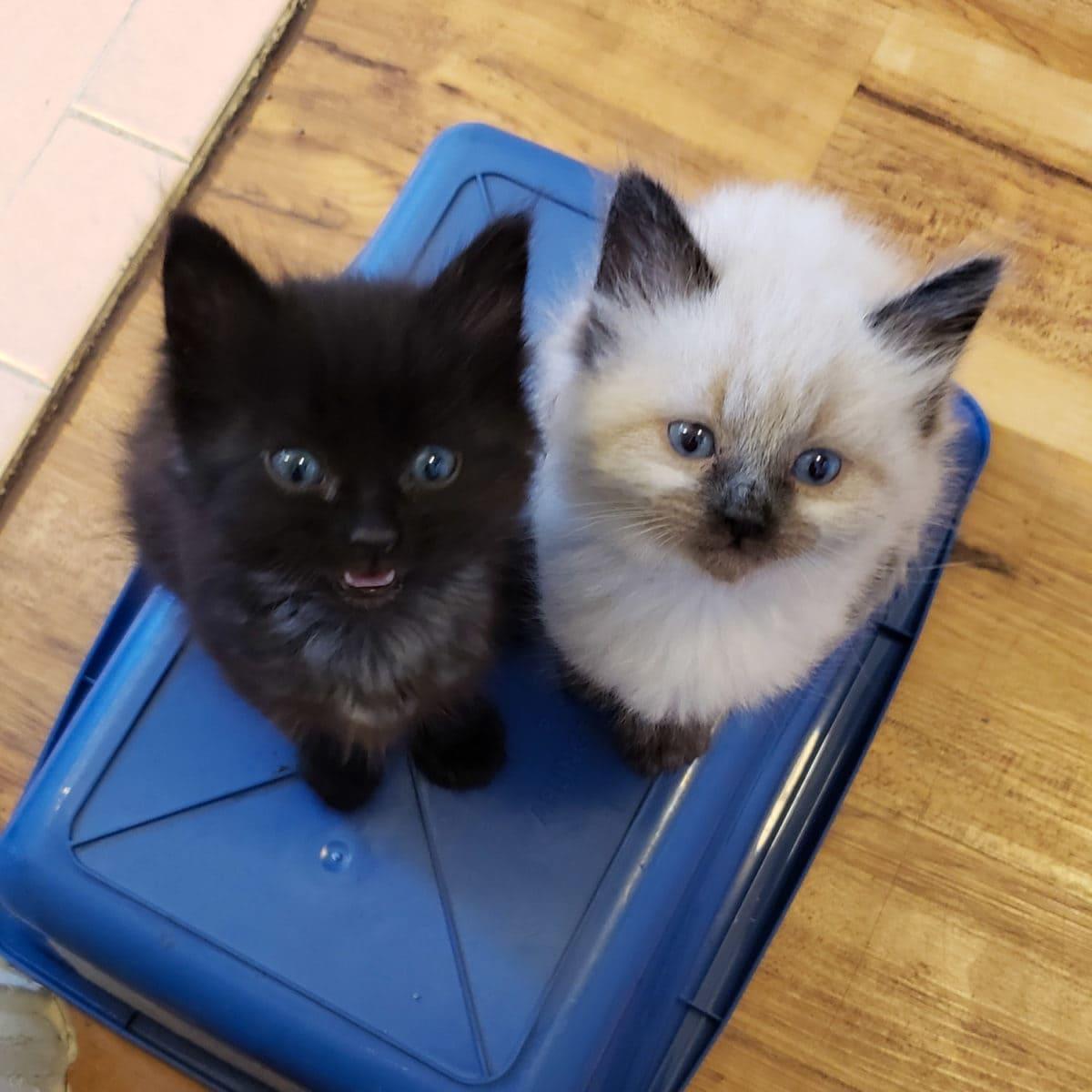 fostering kittens for adoption