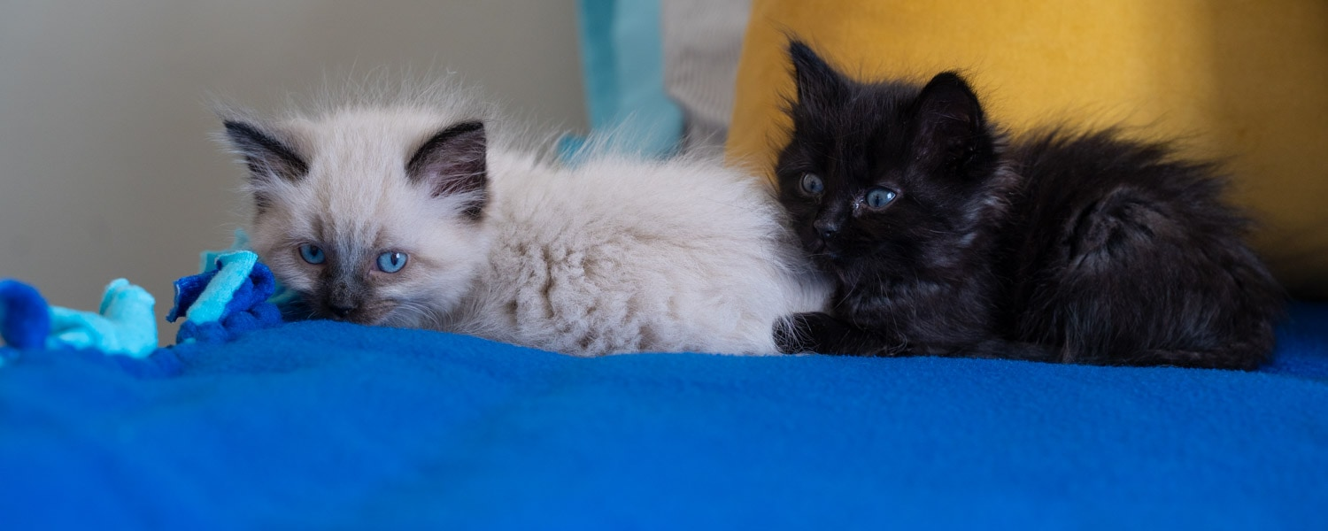 how to foster kittens