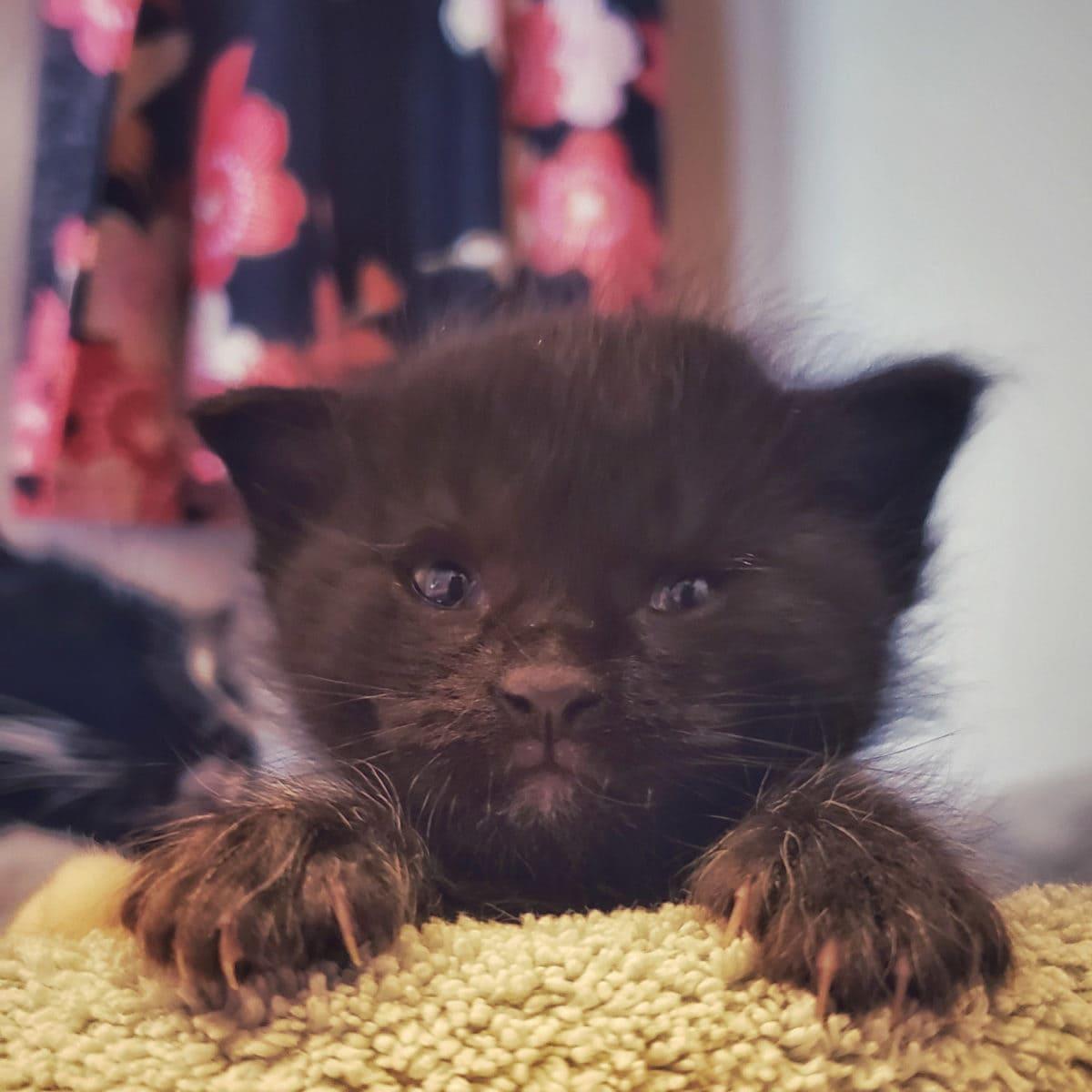 Foster kitten 3 weeks