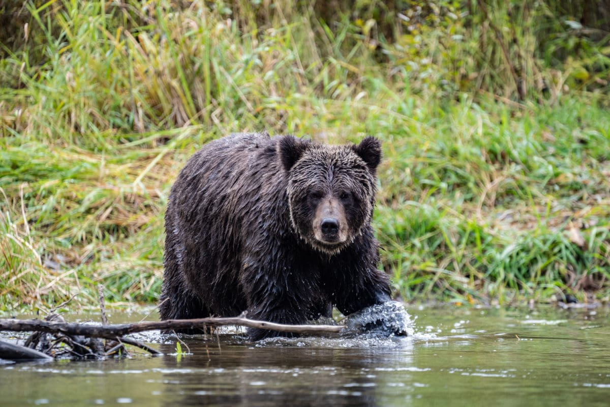 bella coola valley bear watching