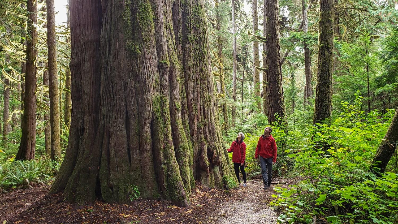 Big cedar tree bella coola