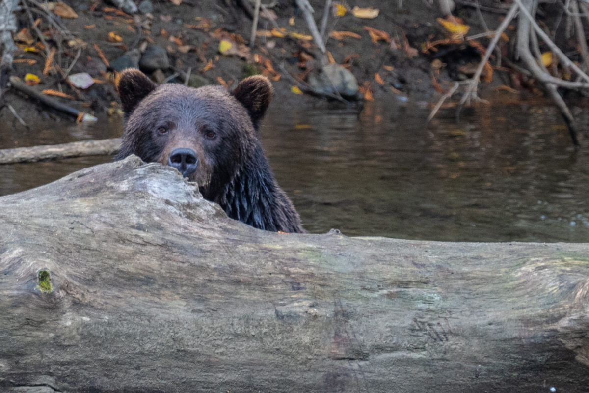 grizzly bear bella coola