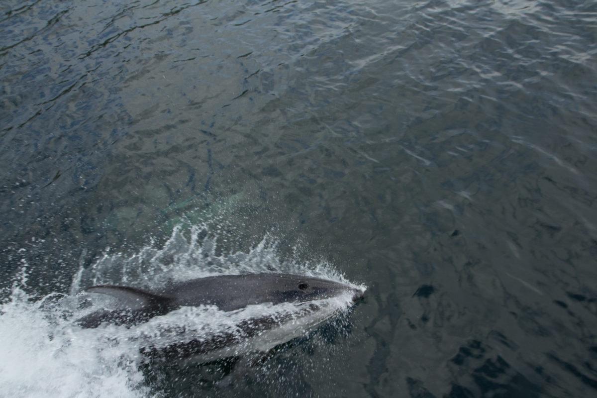 dolphin great bear rainforest