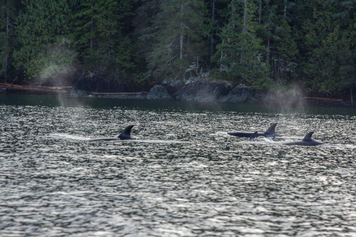 orcas great bear rainforest