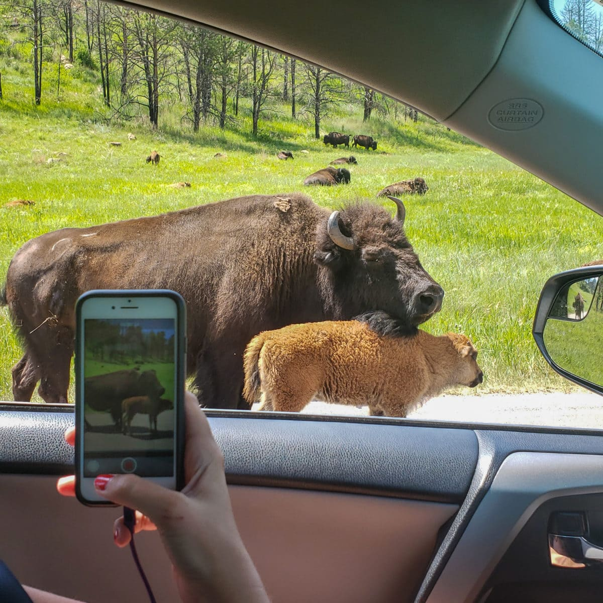 custer buffalo