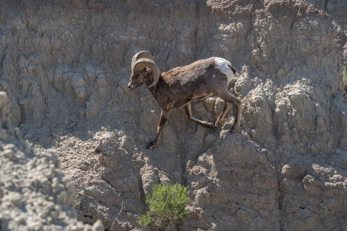 badlands wildlife mountain goat
