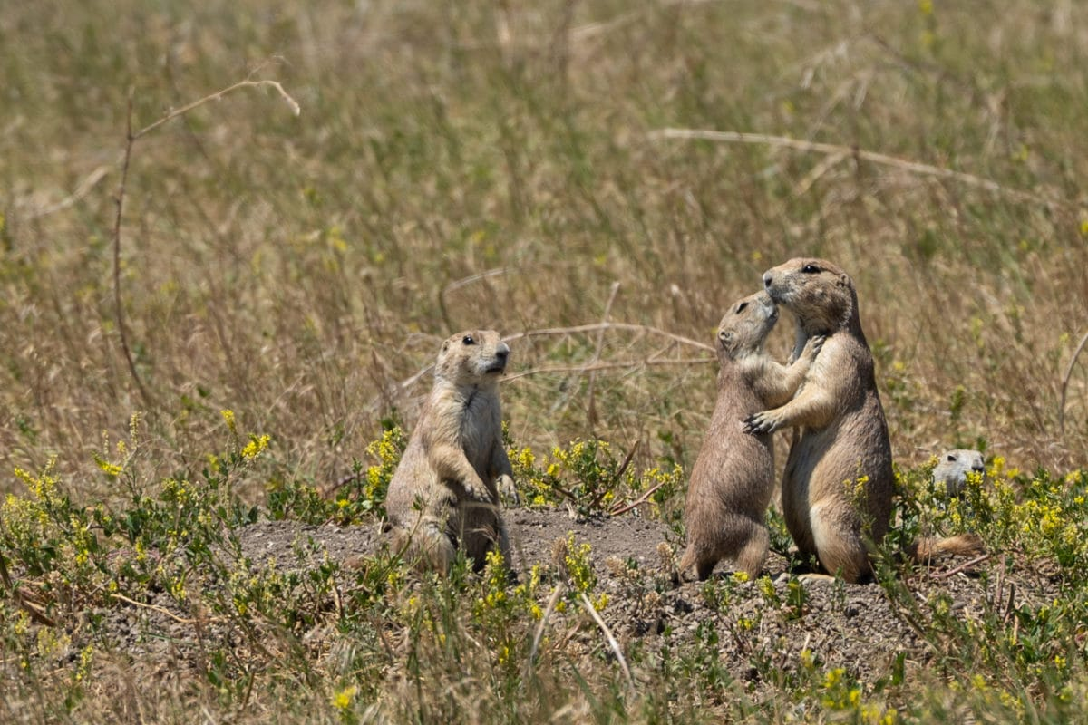 South dakota prairie dogs hugging