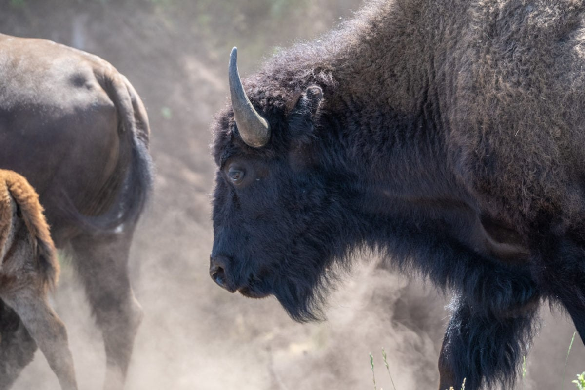 buffalo south dakota