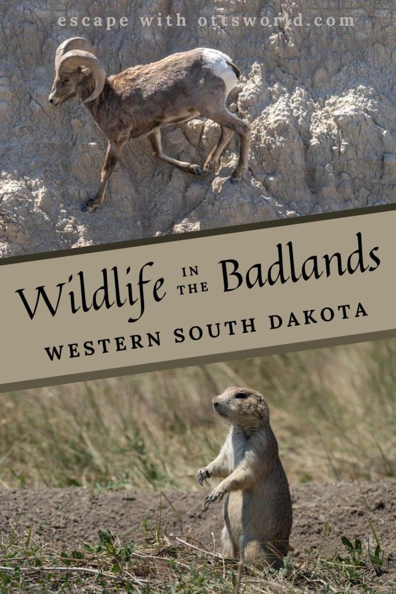 big horn sheep and prairie dog badlands south dakota usa