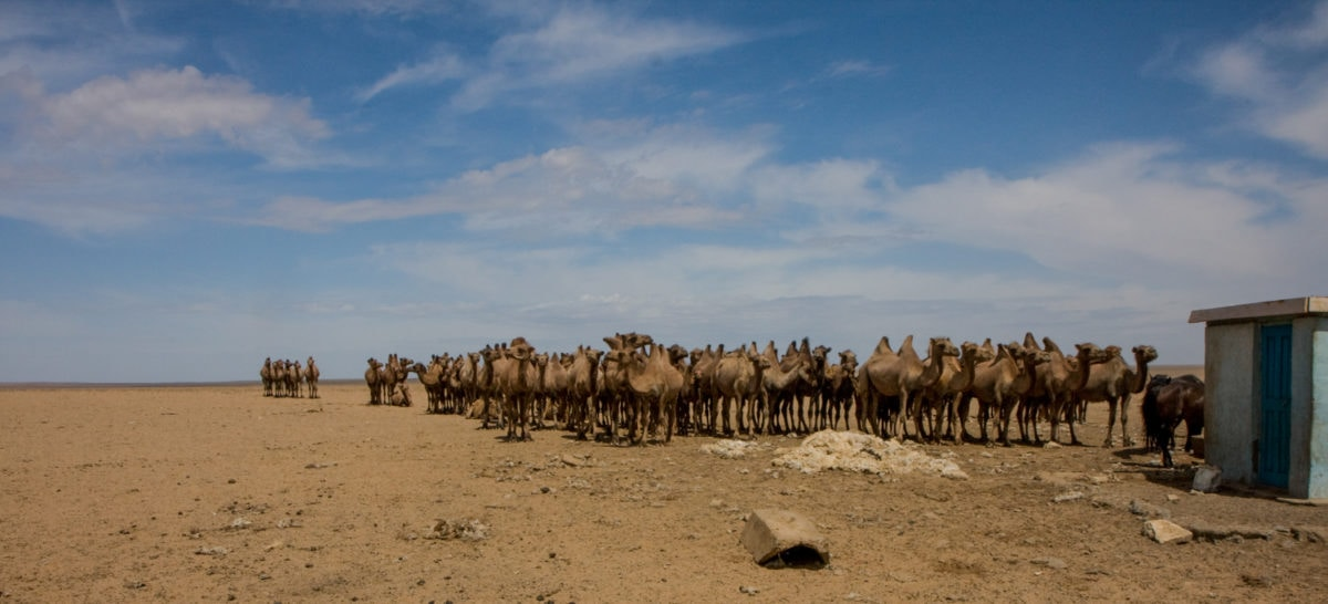 camels standing in line in gobi desert