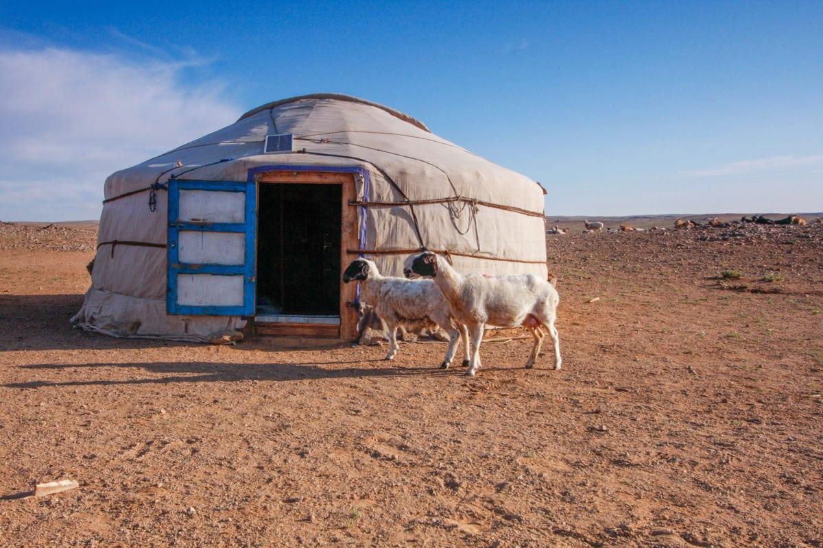 goats roaming mongolia