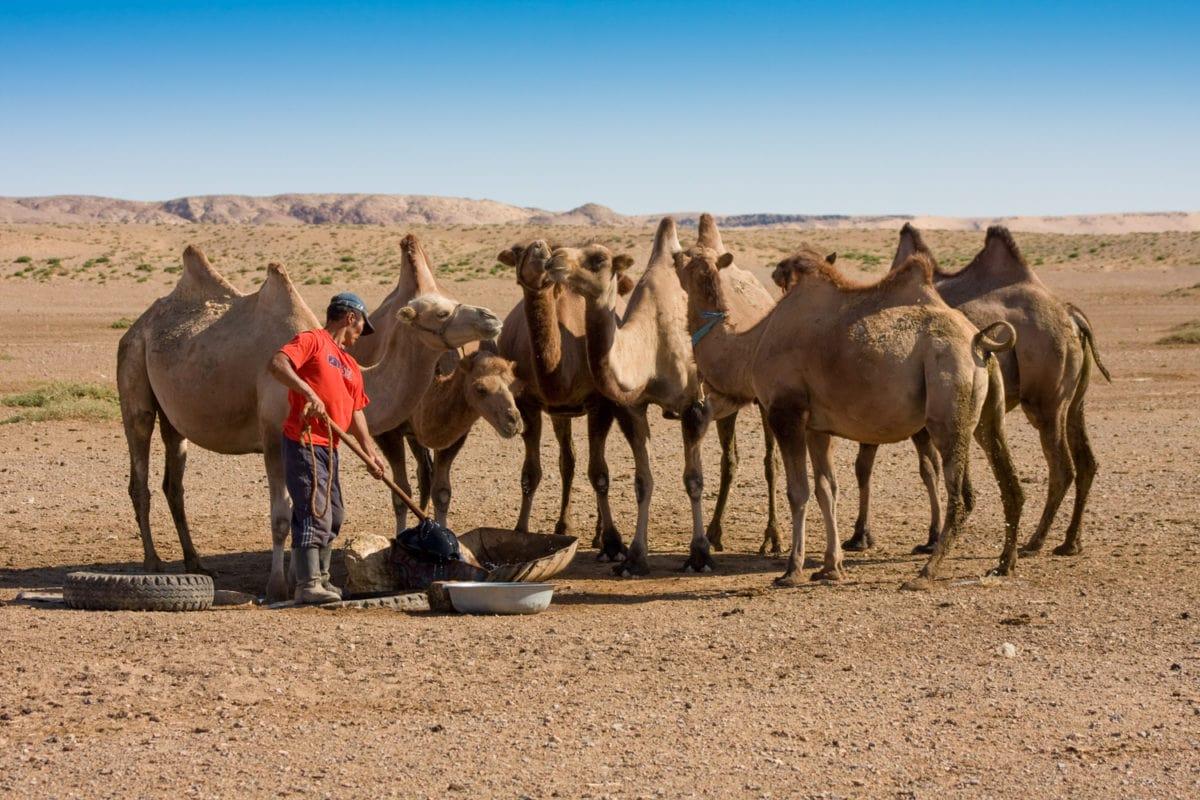 mongolian camel herder