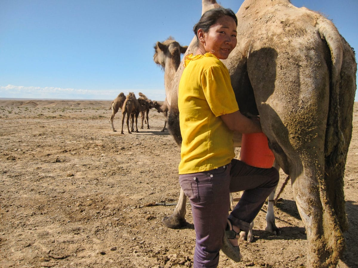 milking a camel in Mongolia