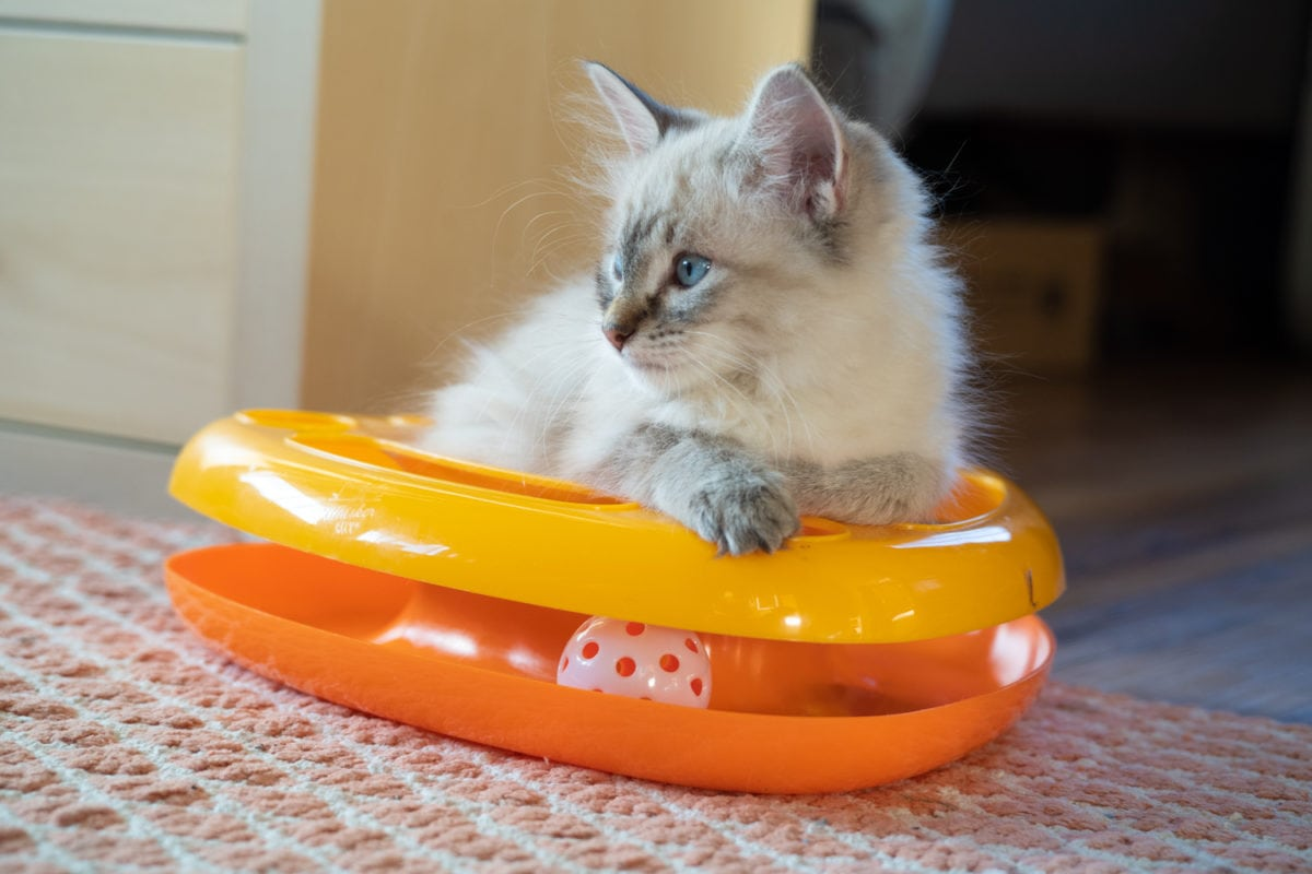 kitten toy