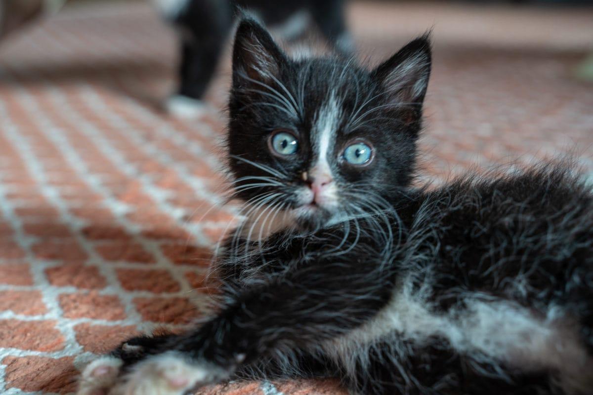 kitten 6 weeks