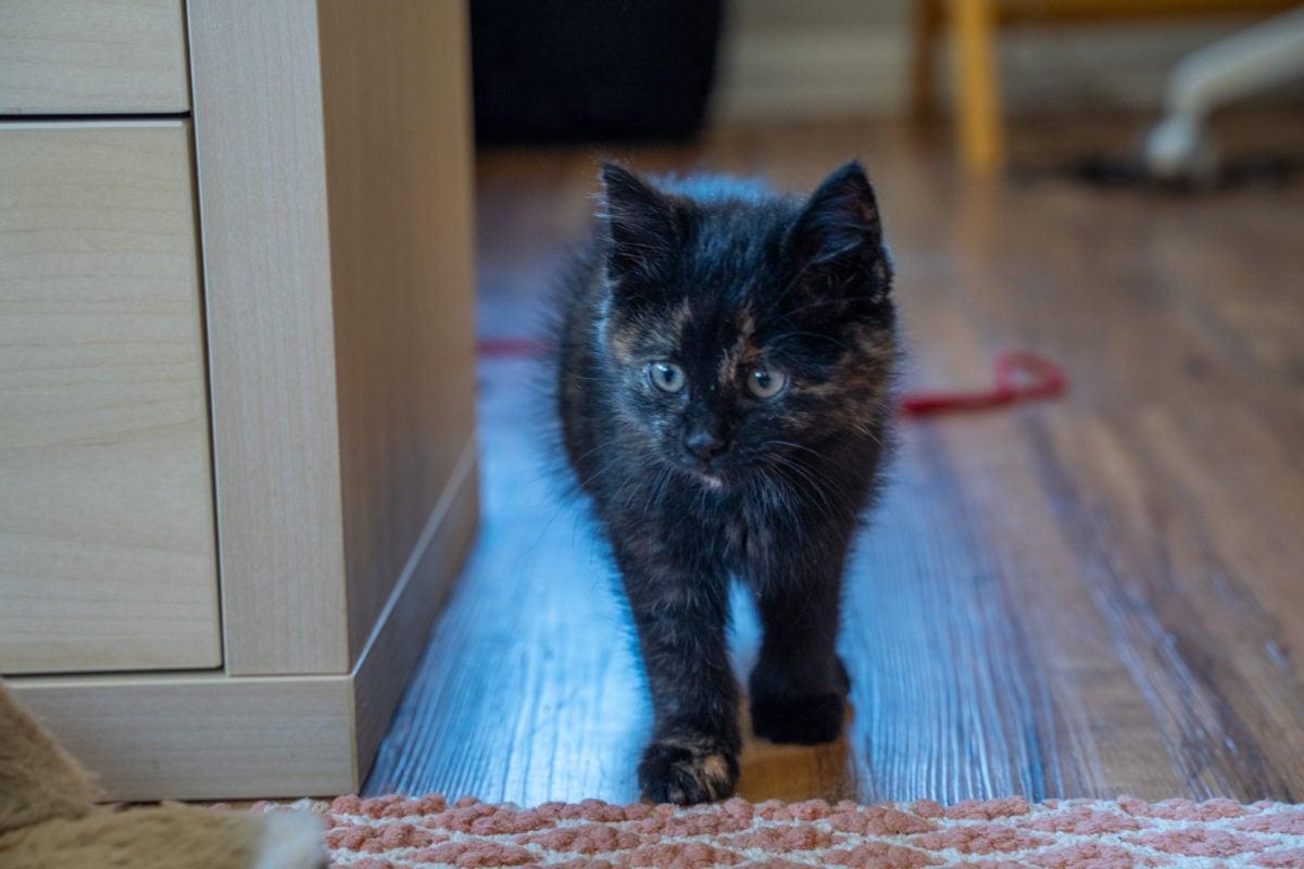 Foster kitten tortie