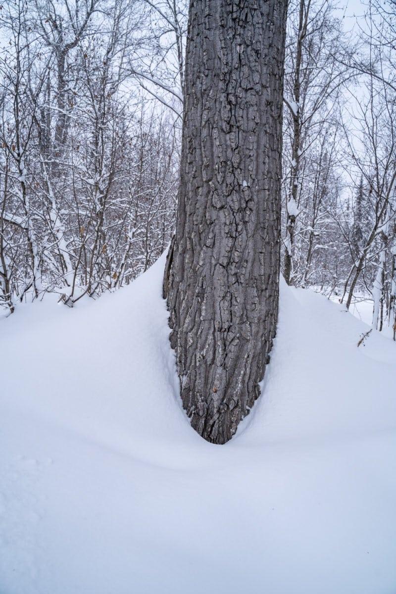 alaska tree