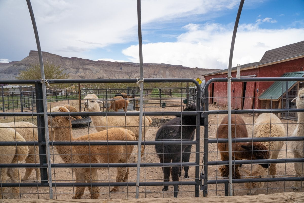 Suncrest alpaca farm grand junction