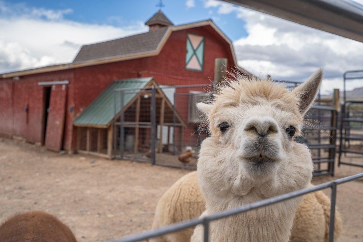 Suncrest alpaca farm
