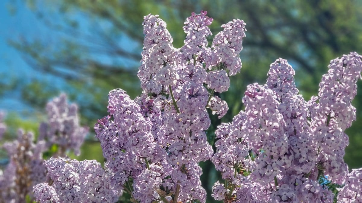 lilacs grand junction spring