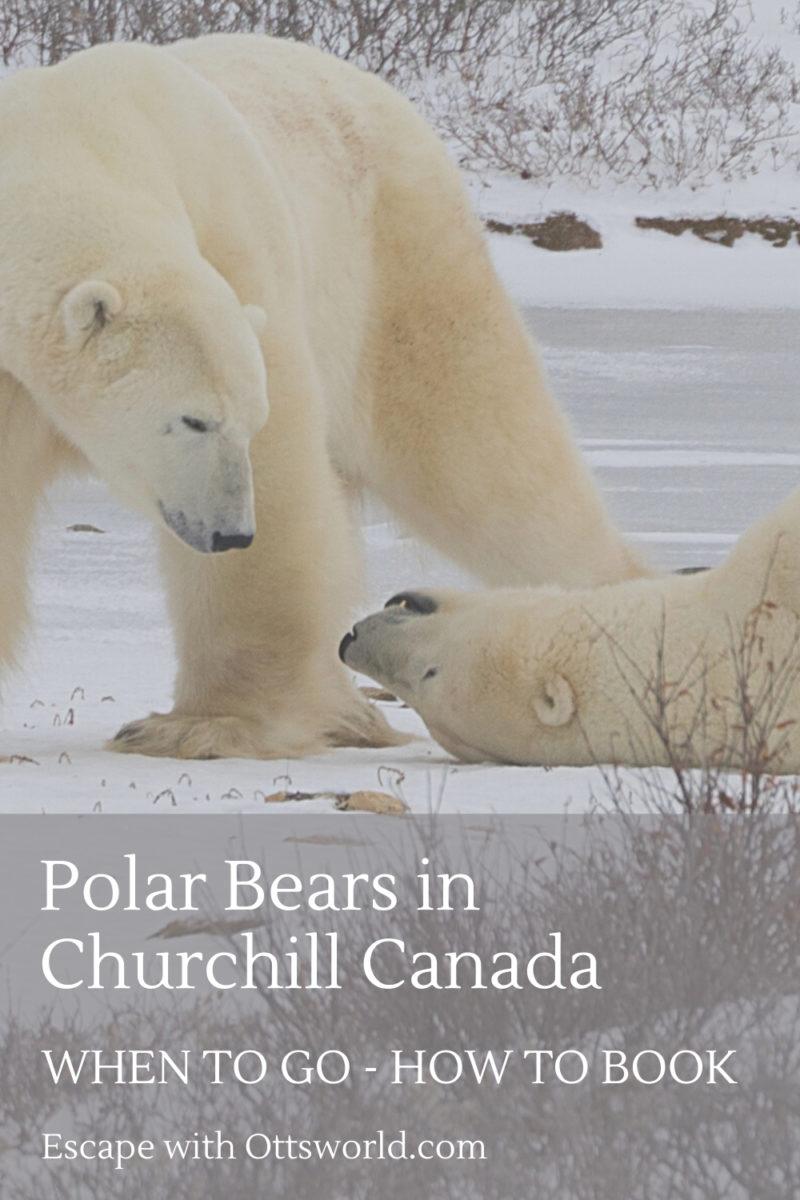 See Polar Bears in Churchill Canada