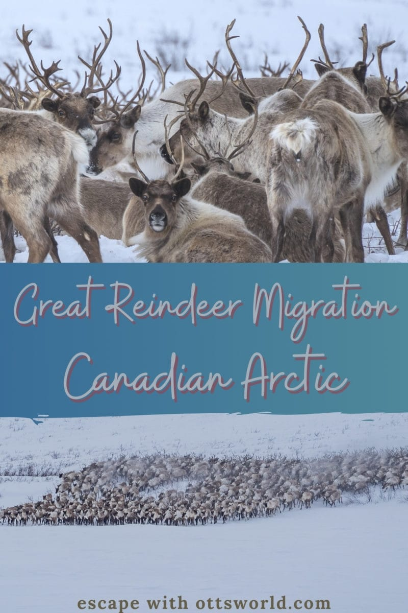 See the Great Reindeer Migration in Arctic Canada