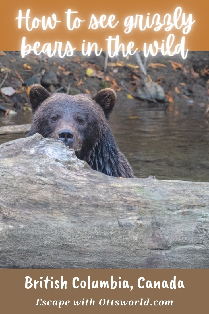 How to see grizzly bears in the wild in British Columbia, Canada